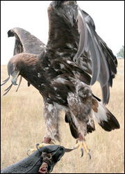 Amicus the golden eagle