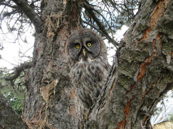 Gus the great gray owl