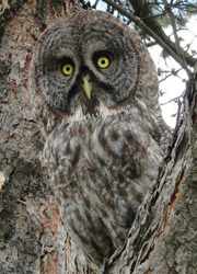 Gus the great grey owl