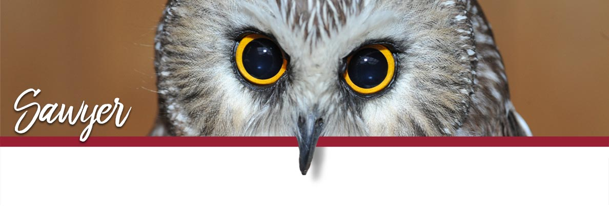WSU Raptor Club page banner showing Sawyer the Northern Saw-whet Owl