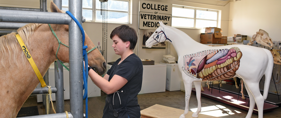 Student with horse, model horse with painted anatomy is in the background.