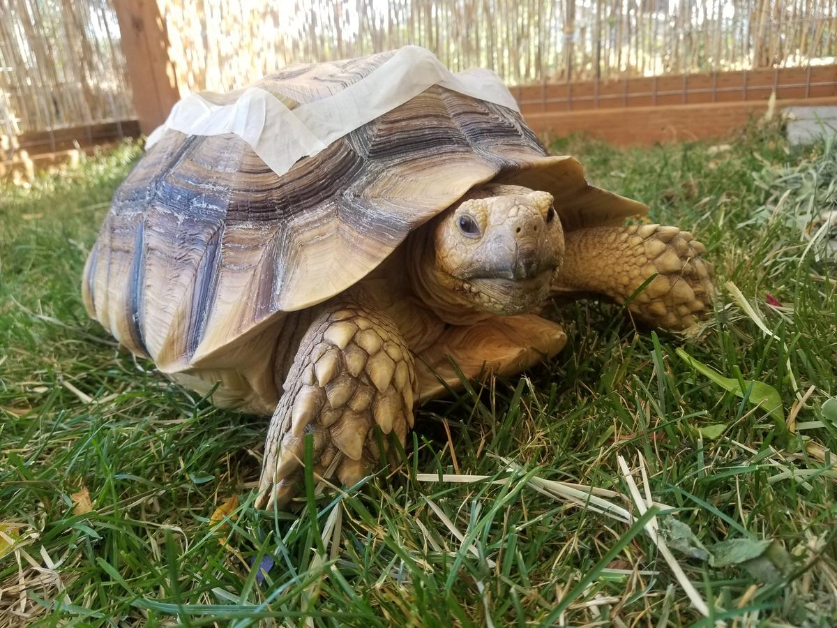Terri the tortoise was injured in Benton City, Washington. Kyley Ackerson and David Copper drove 2.5 hours to get Terri, to the veterinary hospital at WSU, where they ultimately paid over $3,000 in medical expenses for her. (Courtesy Kyley Ackerson)