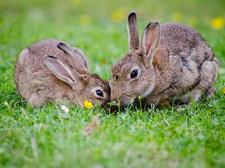 Rabbits in Field