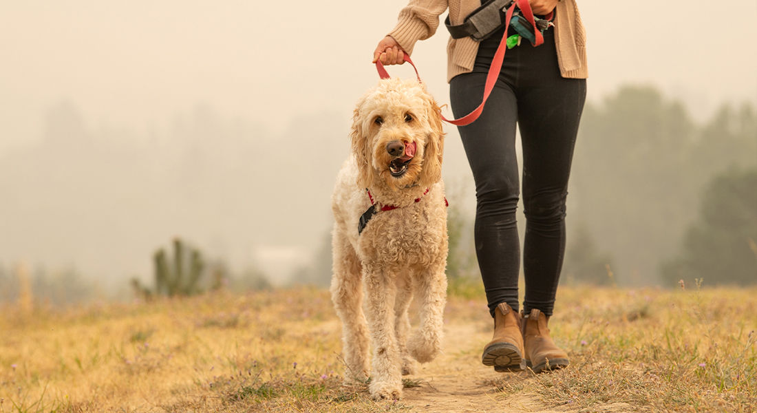 Dog Being Walked in Smokey Area